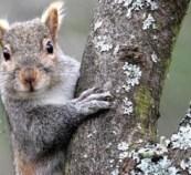 Grey Squirrel, Burlington Wildlife