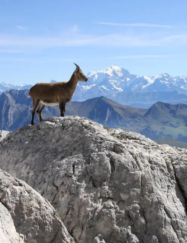 Les animaux sauvages de Haute-Savoie