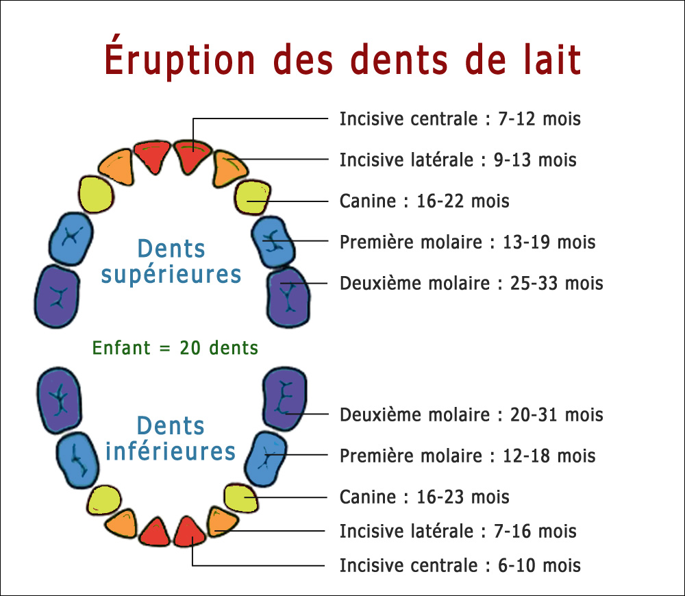 Éruption des dents de lait