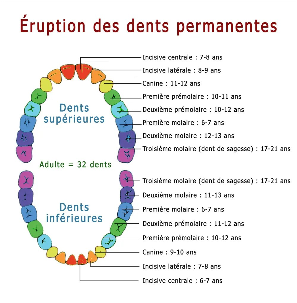 Éruption des dents permanentes