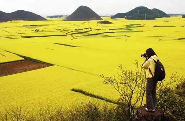 Canola Flower Fields China photo