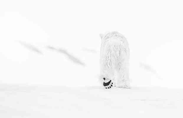 Arctic bear in snow by David Yarrow