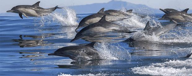 Komodo Cruise Dolphin Pod