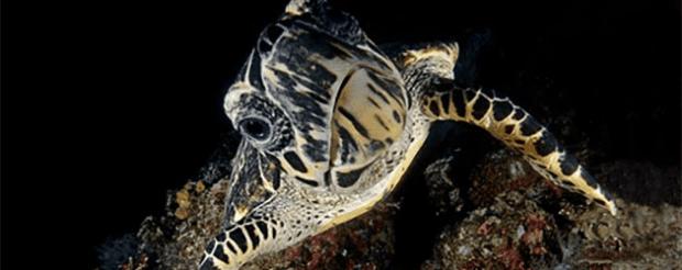 Komodo Night Dive Turtle