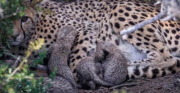 Cheetah mother with new-born cubs at Kuzuko Lodge