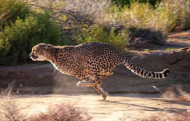 A Cheetah running at Inverdoorn game reserve