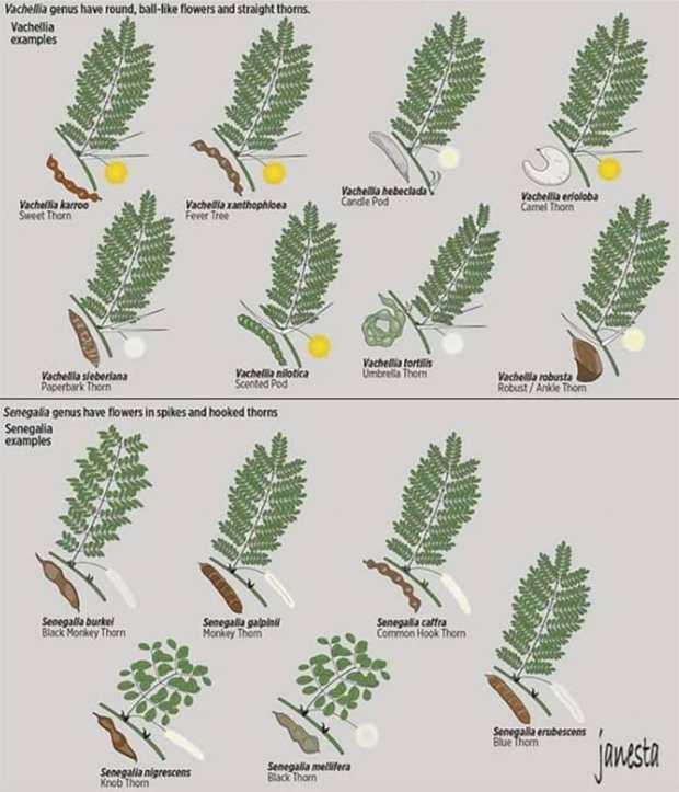 Illustrations of Acacia genera Vachellia and Senegalia