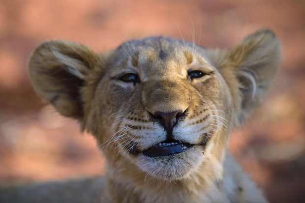 Smiling lion cub at Tswalu
