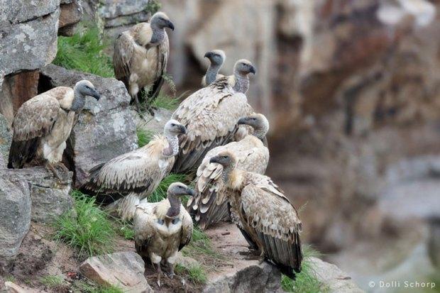 Oribi Vulture Viewing Hide