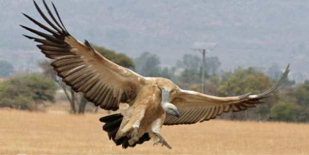 CONSERVATION-Vulture-Saving-Initiative-Vulture-Landing