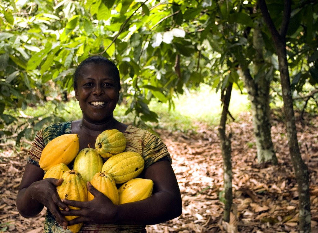 Sustainable cocoa harvesting to make chocolate