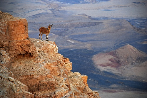 An Ibex gasps as he looks across the Ramon Crater by Flickr user drsoran
