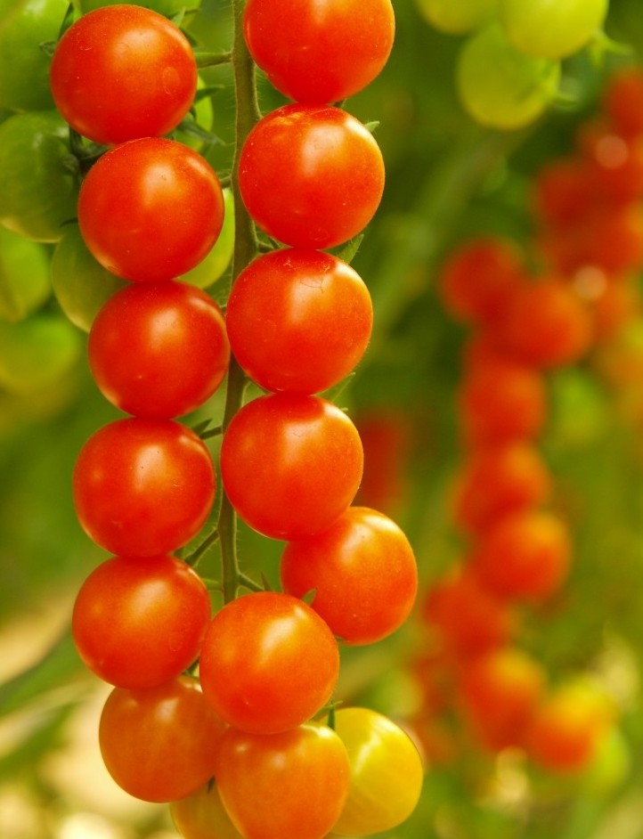 Cherry tomatoes growing in the midst of the Negev Desert