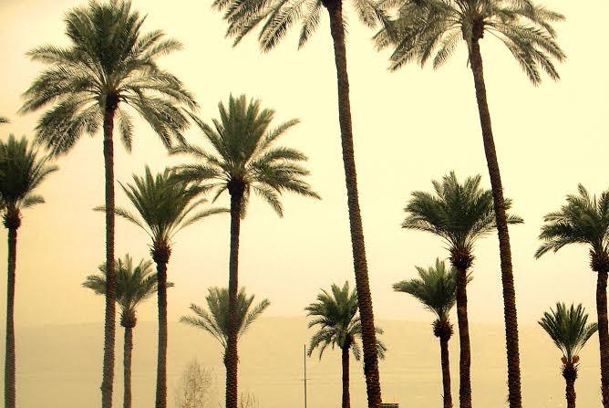 Palm trees at Ein Gev