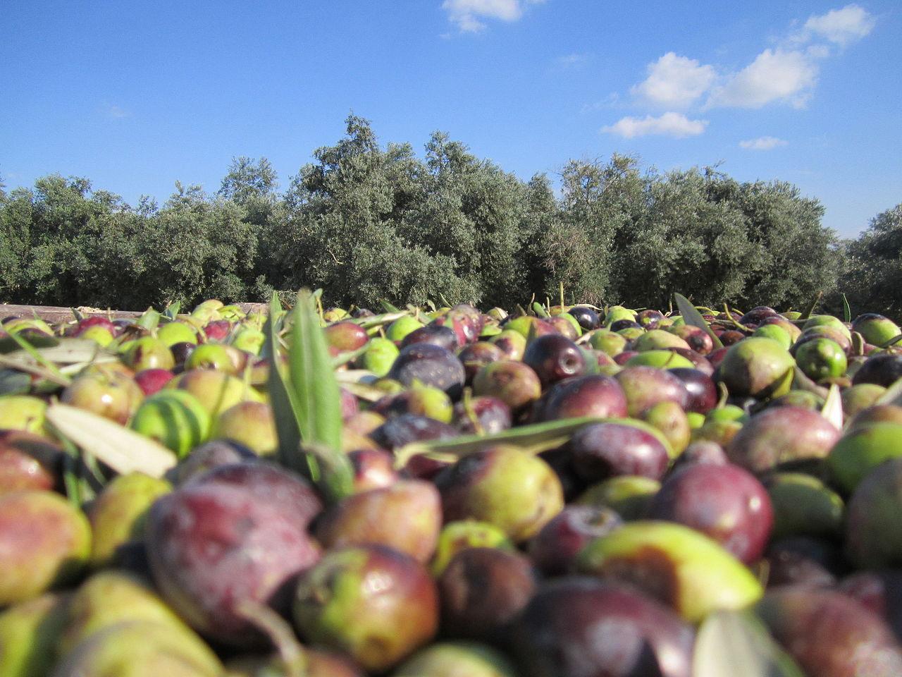 Israel's olive oil