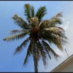 Cuba, havane, arbre, nature