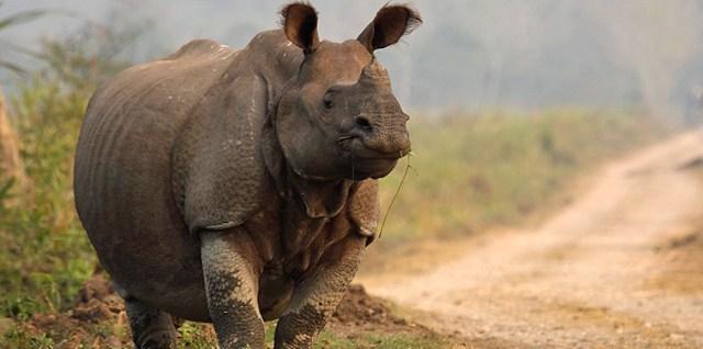kaziranga-rhino