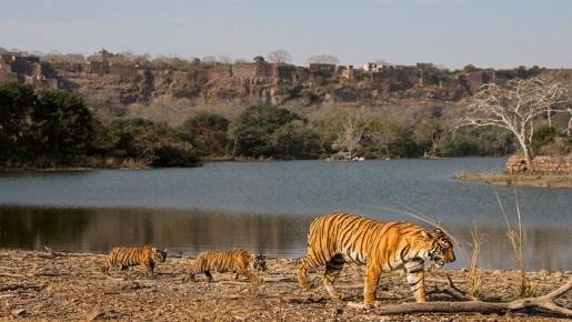 Ranthambore National Park – A Tiger Reserve in Sawai Madhopur, Rajasthan