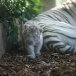 Décès brutal du petit tigre : Touroparc.Zoo endeuillé.
