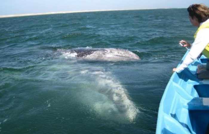 Grey Whale Tours from Loreto BCS