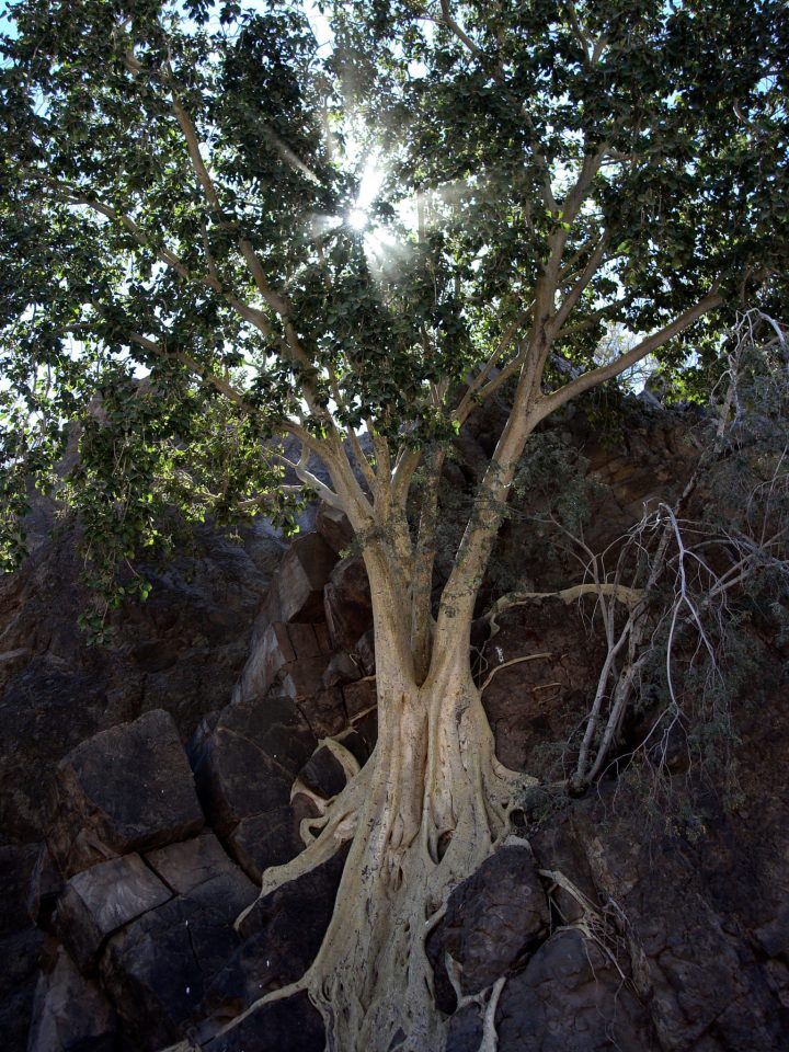 Wild Fig Tree San Javier Tour