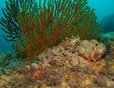 Diving-Sea-of-Cortez-Scorpionfish-by-coral.jpg