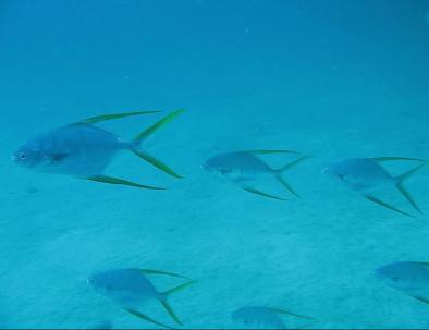 gafftopsail_pompano_loreto_baja_diving_sea_and_land_tours.jpg