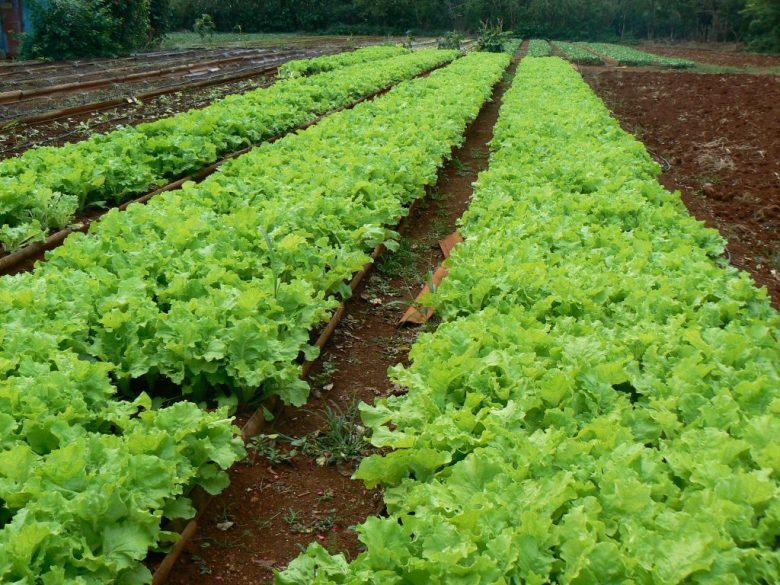 Fresh lettuce the organic way.