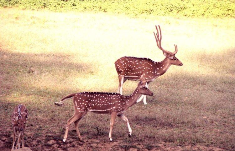 Deers in Ranthambore National Park - Zone 3