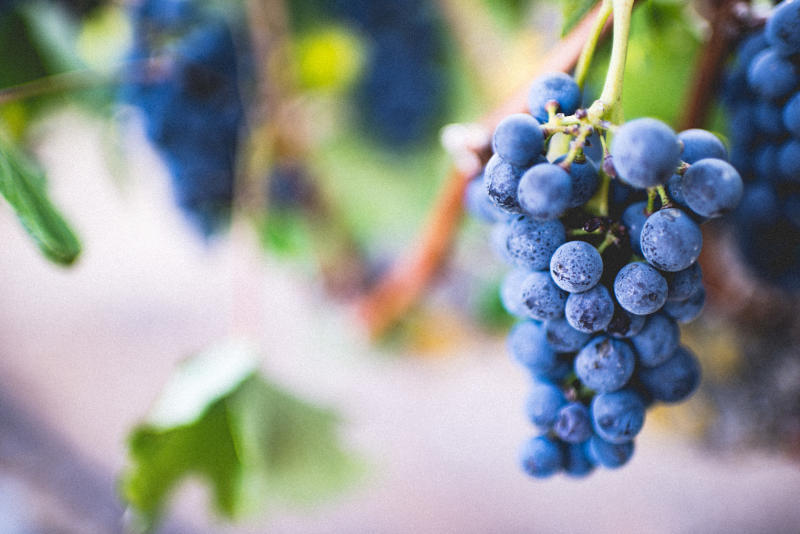 variedades de uva syrah