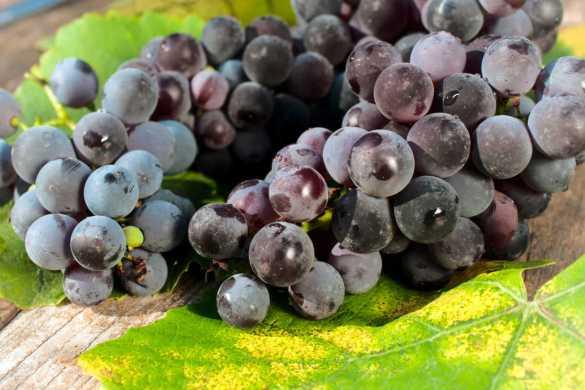 variedades de uva pinot noir