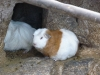 ferme-d_alpagas-6_cochon-d_inde