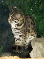 Un chat léopard du Bengale