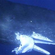Good Eatin: Moby Dick Has a Mega-Meal