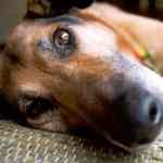 Dogs Respond To Crying Humans; Seem To Empathize