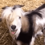 The Chicken Goat Clucks Important Message, 'Be Yourself': VIDEO