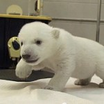 Watch An Adorable Polar Bear Cub Take Its First Steps: VIDEO
