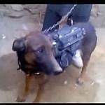 U.S. Military Dog Taken as Prisoner of War in Afghanistan: VIDEO