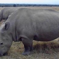 Death Of White Rhino Leaves Only 6 Left In The World