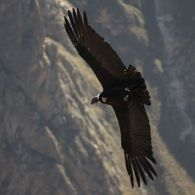 The Andean Condor is in Trouble. The Reasons are Known, and Preventable