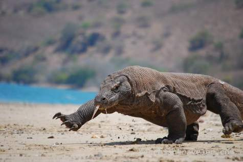 Komodo dragon, Komodo Island, Indonesia, ManAboutWorld gay travel magazine