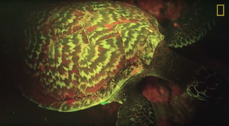 bioluminescent glowing sea turtle