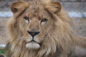 11_lion