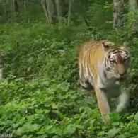 Good News! 4 Siberian Tigers Have Been Filmed Prowling Russia's Wilderness