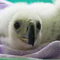 Meet the Tiniest, Fluffiest Ambassador for the Critically Endangered Philippine Eagle
