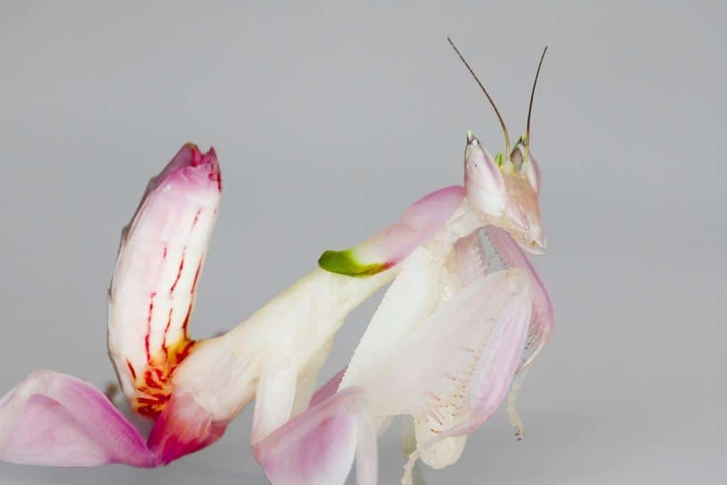 Orchid Mantis flower