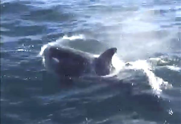 orca orcas cape cod