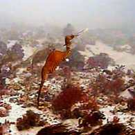 Ruby Seadragon Spotted in the Wild for First Time: WATCH