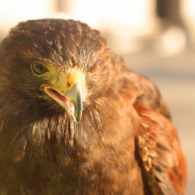 London's Pigeon Problem has a Simple Solution: a Hawk