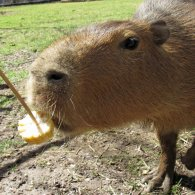These Capybaras Escaped the Zoo for a Summer of Love. Now they're Back, with Babies.